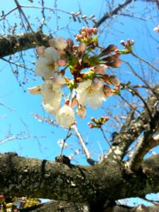 春のお知らせです♪